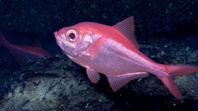 Deep sea fish - the splendid alfonsino (Beryx splendens) Picture
