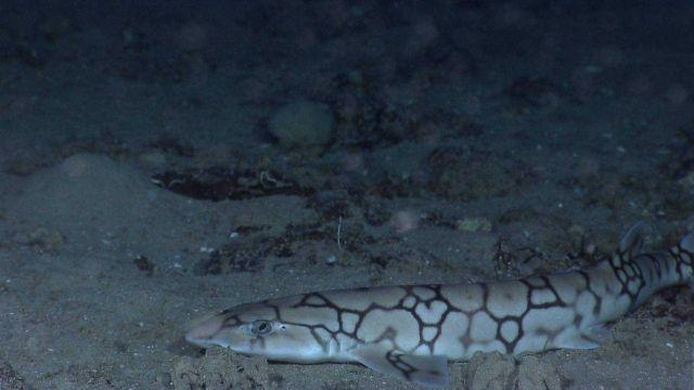 Deep sea fish - a catshark Picture