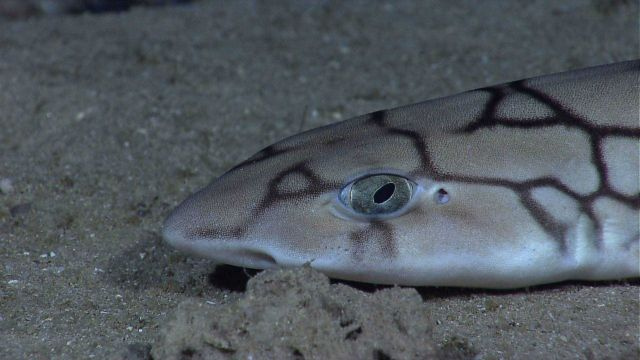 Deep sea fish - a catshark Picture
