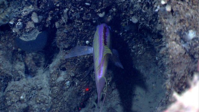 Deep sea fish -swallowtail bass (Anthias woodsi) Picture