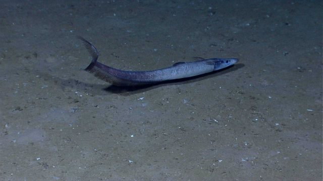 Deep sea fish -conger eel Picture