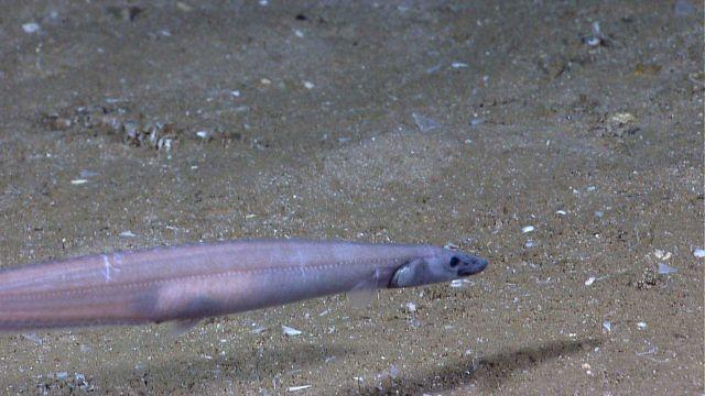 Deep sea fish -conger eel Picture
