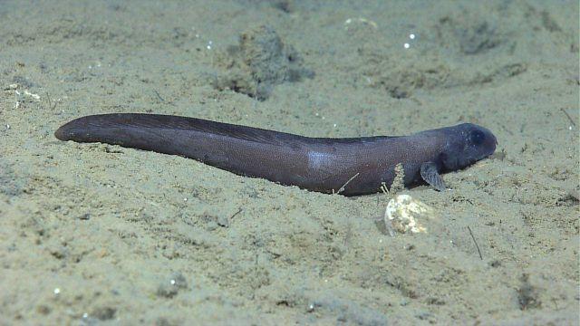 Deep sea fish -cusk eel Picture