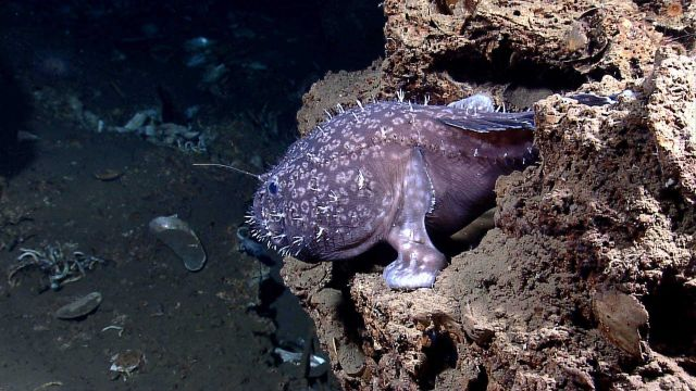 Deep sea fish - anglerfish, possibly Sladenia shaefersi Picture