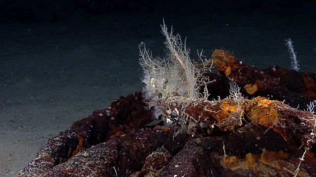 Hydroids growning on a rusting cable with zoanthids Picture
