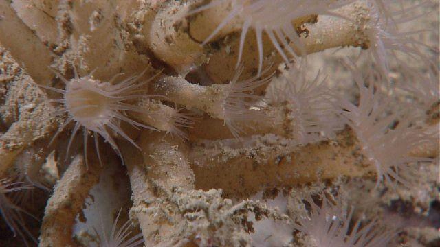 Brownish anemones Picture