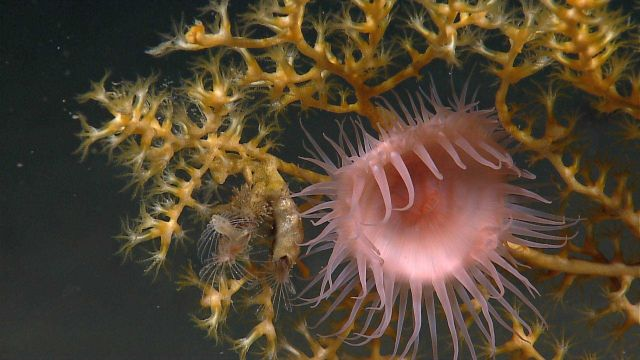 Large orange pink anemone on yellow octocoral with feeding barnacles to left of anemone Picture