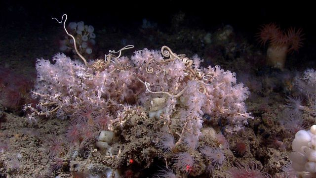 Large brittle stars intertwined with white octocoral bush Picture
