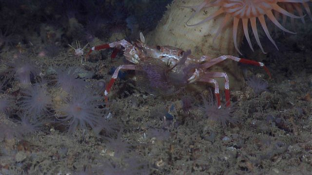 Bathyal swimming crab (Bathynectes longispina) eating jellyfish Picture