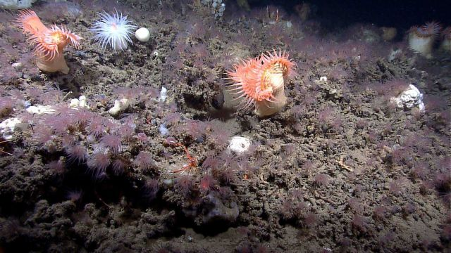 A gray encrusting sponge in the foreground, many brown anemones, two large venus flytrap anemones, and numerous small white sponges including ping pon Picture