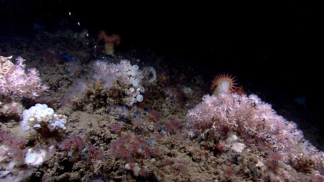 Diverse community of small white scleractinian corals, a variety of anemones, and various sponges. Picture