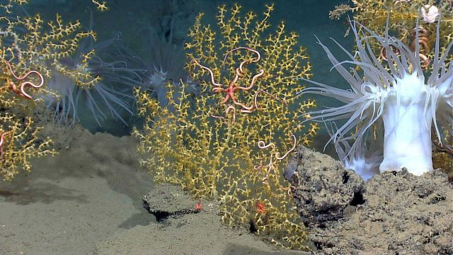 Spectacular white anemones and yellow paramuricid corals with associated brittle stars. Picture