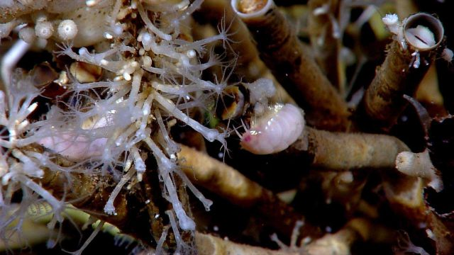 An aggregation of vestimentiferan tubeworms (Lamellibrachia sp.)., hydroids ( small stalked animals), zoanthids in upper left, and a pink isopod in th Picture