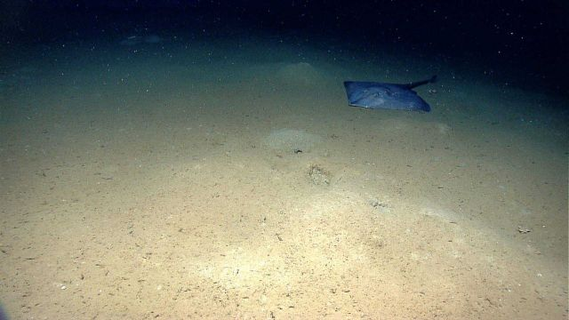Large skate on the seafloor Picture