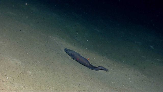Large deep sea fish on sand and mud bottom. Picture