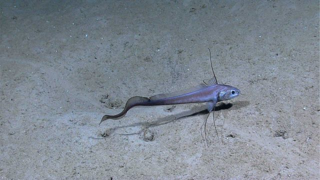 A grenadier resting on the sea floor. Picture