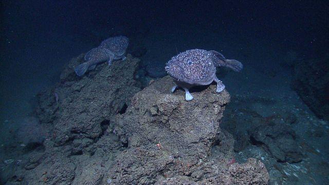 Two Shaefer's anglerfish (Sladenia shaefersi) Picture