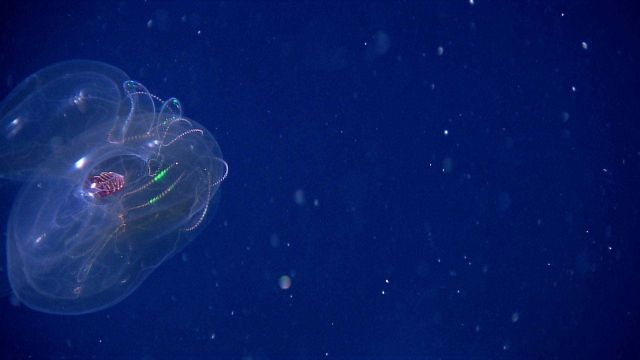 Lobate ctenophore displaying bioluminescence Picture