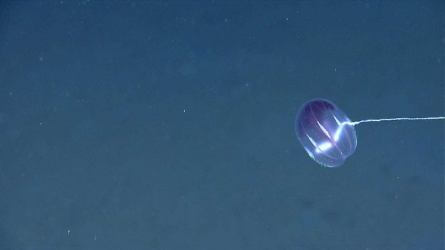 A beautiful little comb jelly Picture