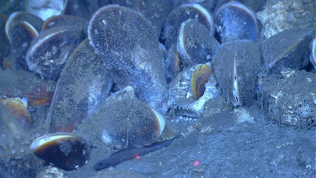 6-inch eelpout on the edge of a group of bathymodiolus mussels. Picture