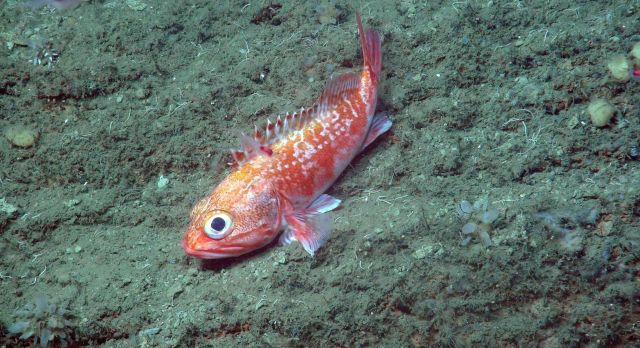 Blackbelly rosefish - these striking fish are fairly common in the rocky canyon habitats Picture