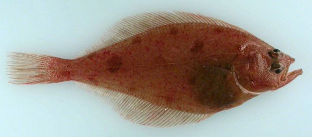Bering flounder (Hippoglossoides robustus), the first record from the Eastern Siberian Sea, RUSALCA 2009. Picture
