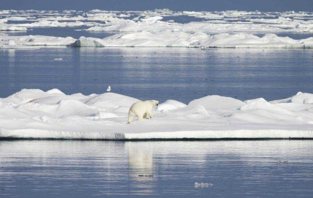 Polar bear crossing an ice floe. Picture