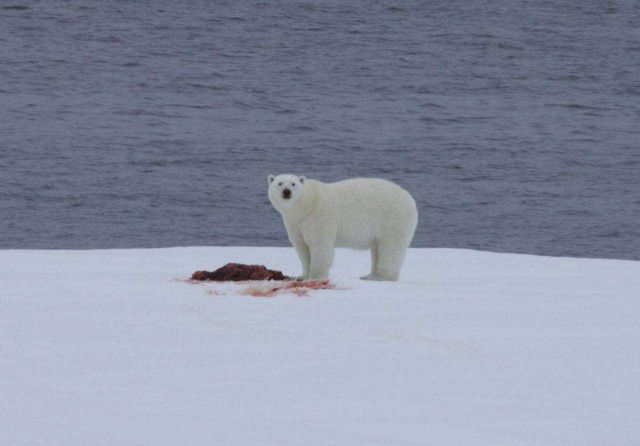 Polar bear on an ice floe with remains of a seal dinner. Picture