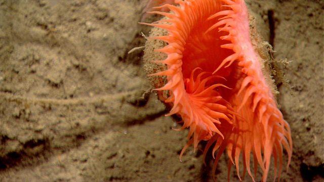 Orange venus flytrap anemone. Picture