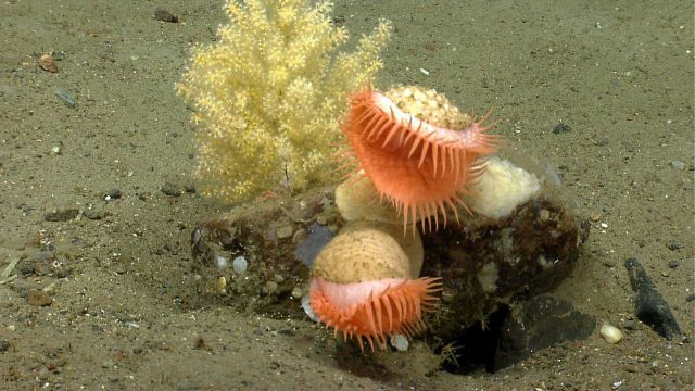 Orange venus flytrap anemones on rock and a small octocoral. Picture