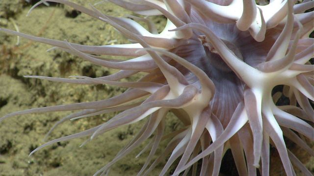 Large brownish white deep sea anemone. Picture