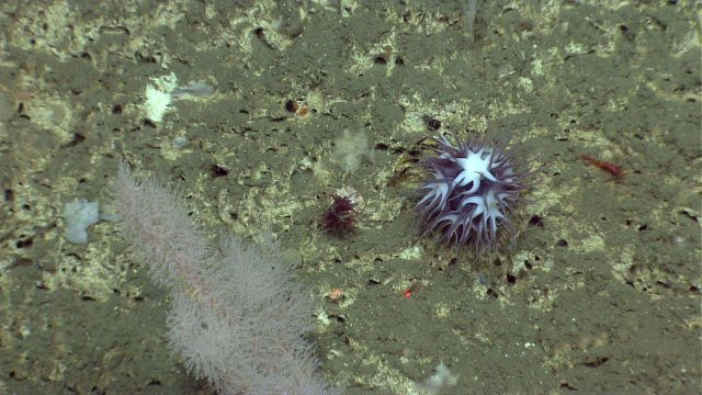 Large purplish white deep sea anemone. Picture
