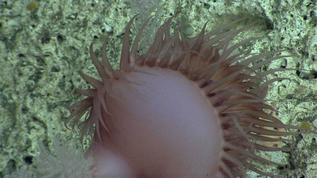 Pinkish brown flytrap anemone. Picture