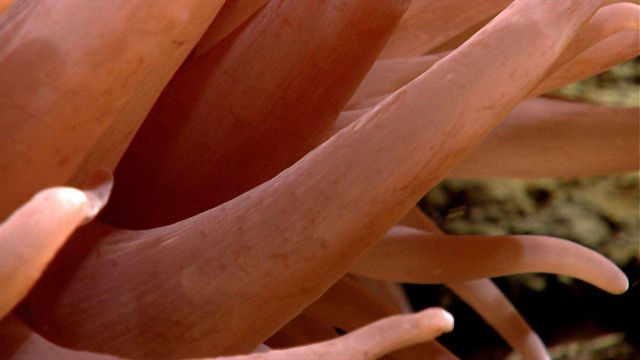 Closeup of tentacles of large pink anemone. Picture