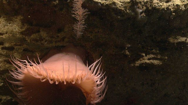 A large pinkish anemone with a small