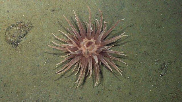 A large pinkish brown anemone on a sediment substrate. Picture