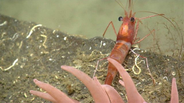 A white-and-red banded shrimp on a rock outcrop with tentacles of an anemone Picture
