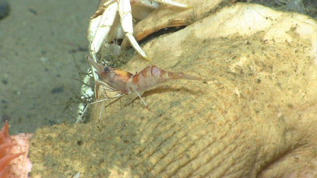 A white-and-red banded shrimp on the column of a large anemone. Picture