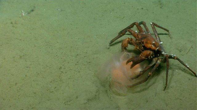 Deep sea red crab Chaceon quinquedens eating a jellyfish. Picture