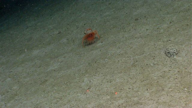 Hermit crab with symbiotic anemone Picture