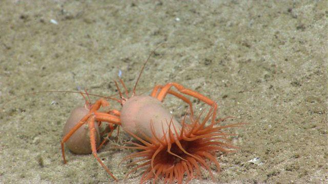 Hermit crabs with symbiotic anemones. Picture