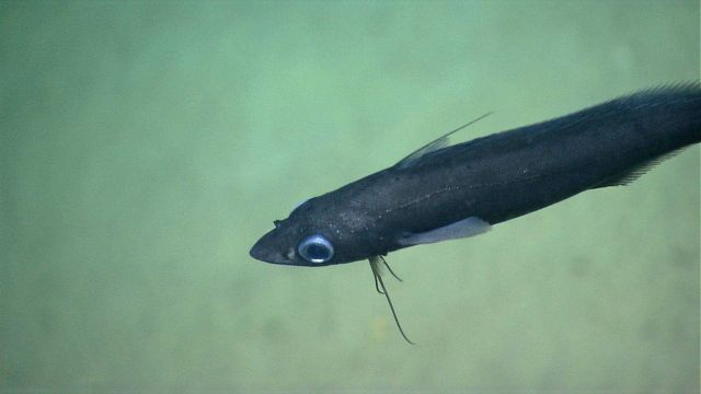 Deep sea fish. Picture
