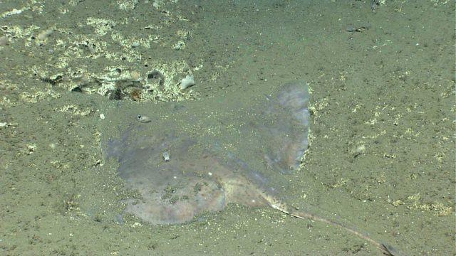 Deep sea fish Picture