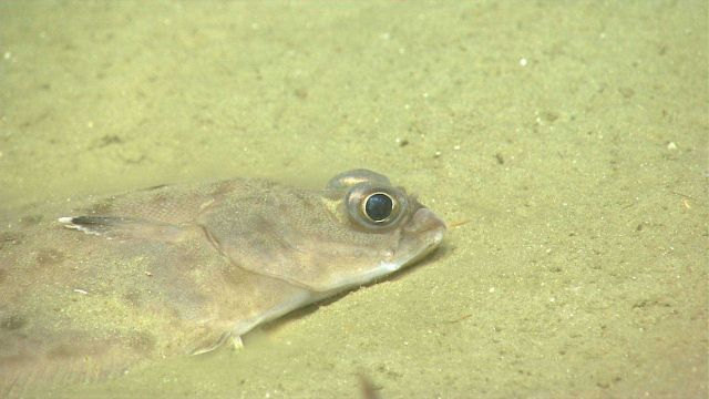Deep sea fish Picture