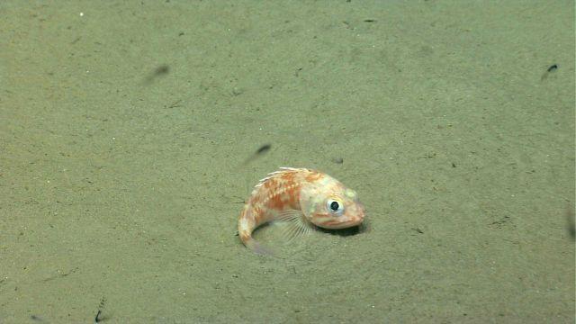 Blackbelly rosefish (Helicolenus sp.) Picture