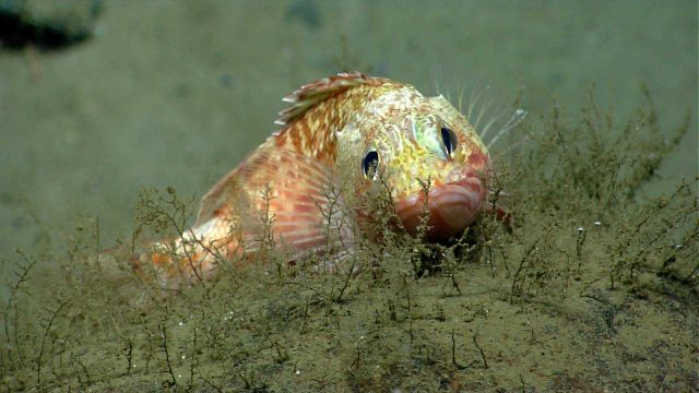 Blackbelly rosefish (Helicolenus sp.) Picture