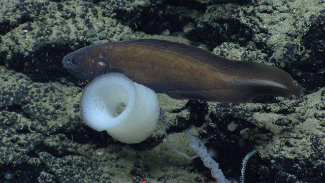 Deep sea fish. Pudgy cusk eel (Spectrunculus grandis) Picture