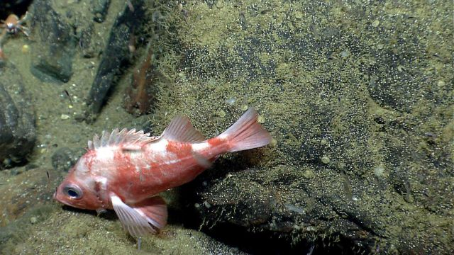 Deep sea fish. Picture