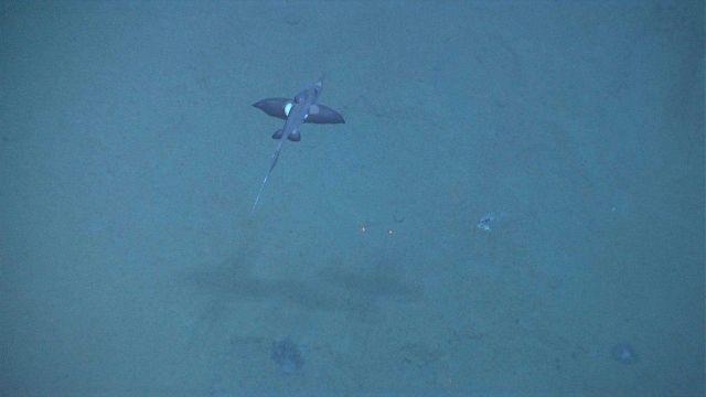 Deep sea fish. A Rhinochimaera (Harriotta sp.) Picture