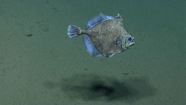 Deep sea fish. False boarfish (Neocyttus helgae) Picture